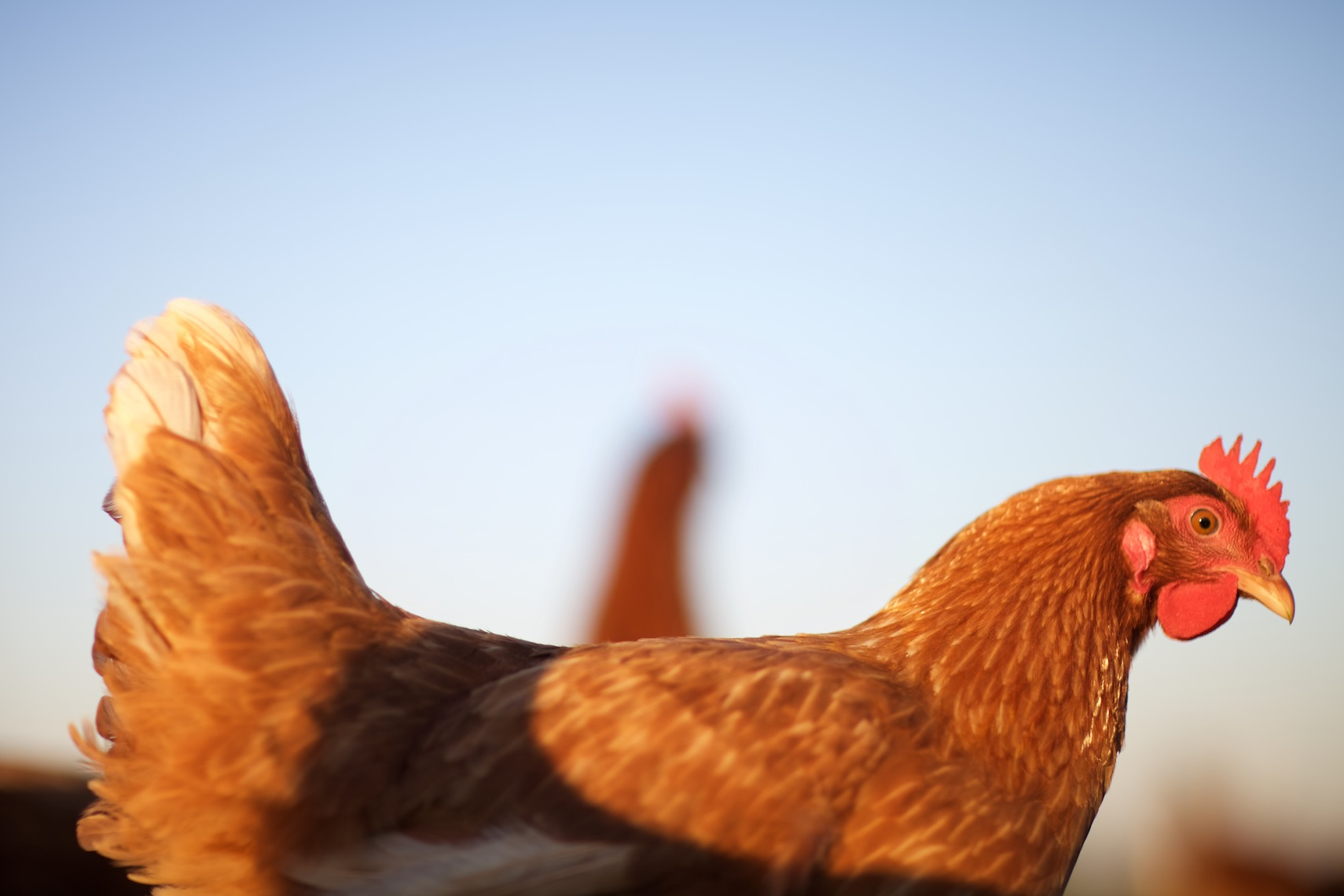peeler-farms-chickens-texas-jason-risner-photography-1682