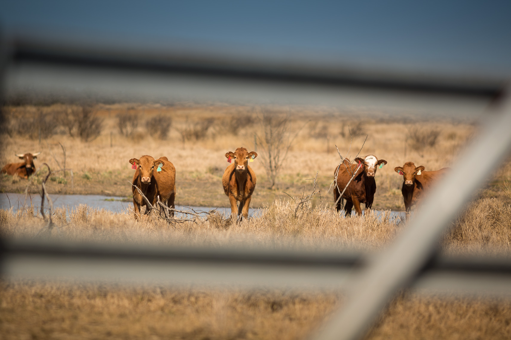 peeler-ranch-cattle-texas-jason-risner-photography-9551